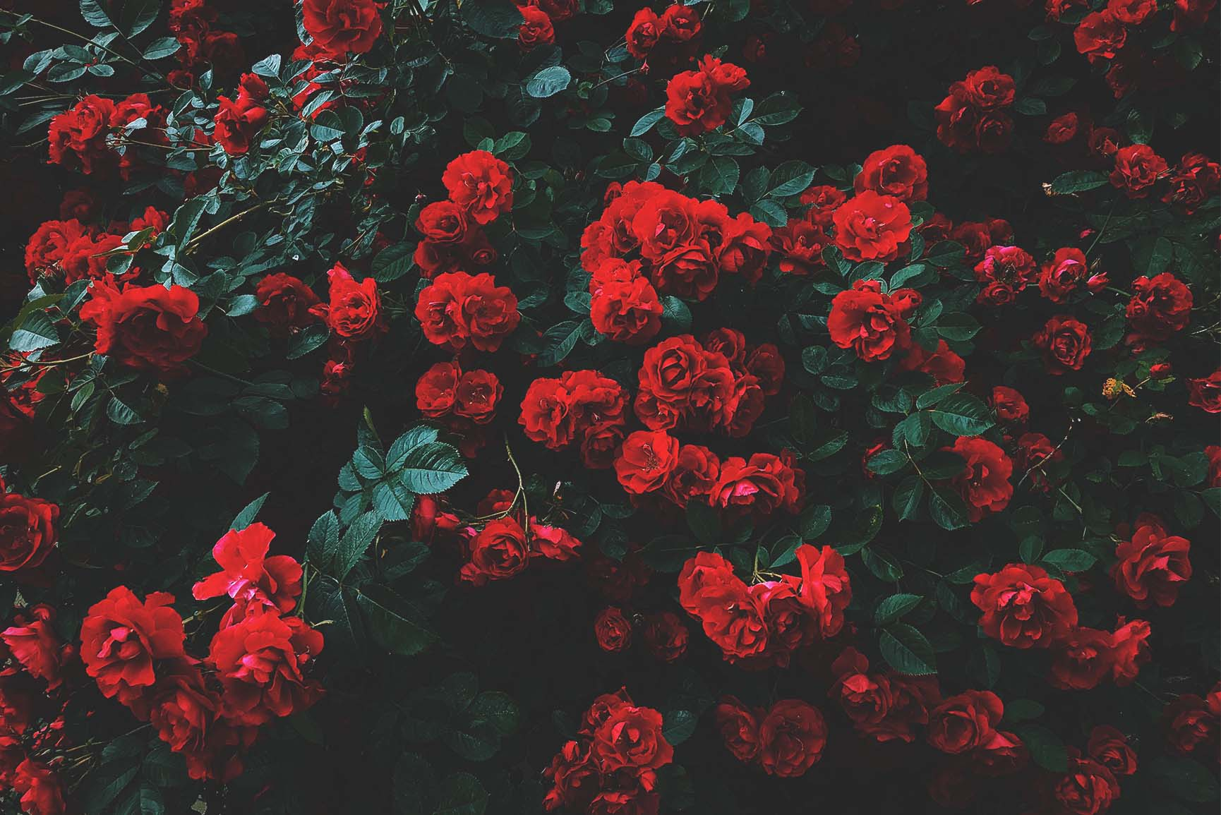 A Dozen Red Roses Iphone Wallpapers For Valentine S Day Preppy
