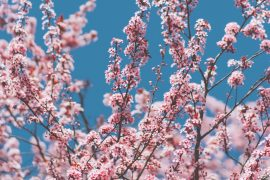 Spring Blossom iPhone Wallpaper Collection